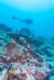 En dykare som simmar över en korallavsats i havet, Maldiverna Arkivbilder