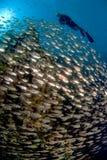 En dykare som simmar över en skola av fisken Arkivbild