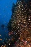 En dykare som tillsammans med simmar en skola av fisken som cirklar en rev Royaltyfri Bild