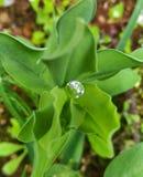 En dyrbar liten droppe Arkivbild