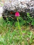 En egentligen sällsynt blomma Royaltyfria Bilder