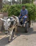 En egyptisk manridning på vagn som en är drivande vid en åsna på Saqqara i Egypten Royaltyfria Foton