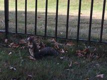 En ekorre i den Kensington trädgården Arkivfoto
