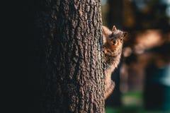 En ekorre på sidan av trädet som ser kameran arkivbilder