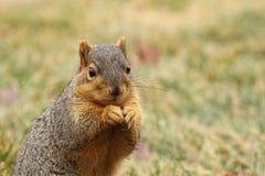 En ekorre som äter 3 Royaltyfri Fotografi