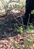 En ekorre som äter muttern i en härlig väg som gör upp hennes svans royaltyfri fotografi