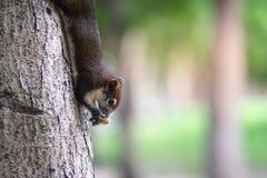 En ekorre som äter muttrar på trädstammen royaltyfria foton