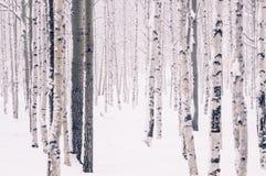 En el abedul del bosque del invierno, el álamo temblón y otros árboles Fotos de archivo