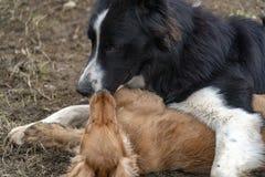En el amor que besa el perro de perrito cocker spaniel y el border collie imagen de archivo