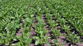 En el azúcar creciente beets_2 Fotos de archivo