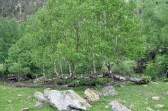 En el banco del río, a partir de un tronco caido, muchos abedules ha Imagen de archivo libre de regalías