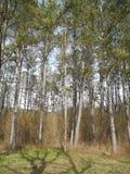 En el bosque del pino, montañas crimeas Fotografía de archivo