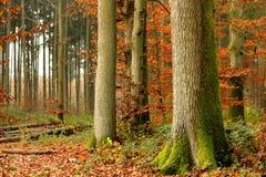 En el bosque en el primer de la caída del árbol grande Fotografía de archivo libre de regalías