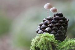 Pequeñas setas crecen en una piña. En el bosque, pequeñas setas crecen en una piña, la luz se filtra por detrás Royalty Free Stock Photography