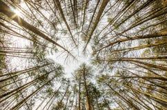 En el bosque profundo la mirada para arriba tiró Fotografía de archivo libre de regalías