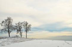 En el campo agrícola que crece el abedul de tres inviernos Imagen de archivo
