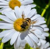 En el foco de una abeja con las alas transparentes brillantes recoge el néctar dulce de la flor de la manzanilla Imagenes de archivo