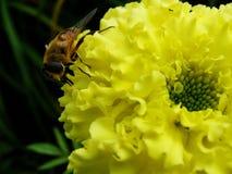 En el jardín del verano la avispa recoge el néctar en un jardín de flores amarillo Fotografía de archivo libre de regalías