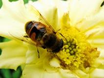 En el jardín del verano la avispa recoge el néctar en un jardín de flores amarillo Foto de archivo libre de regalías