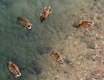 En el lago hay patos desde arriba Fotografía de archivo libre de regalías