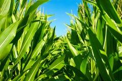 En el medio de las plantas de maíz Fotografía de archivo