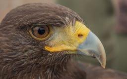 En el ojo del halcón de Harris Fotografía de archivo libre de regalías