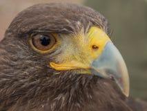 En el ojo del halcón de Harris Imagenes de archivo