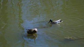 En el pato y el pato macho de la nadada del río almacen de metraje de vídeo