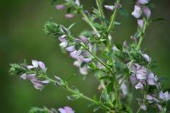 En el prado florece el ononis imagenes de archivo