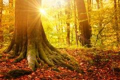 En el pueblo Paisaje soleado del otoño - la fila del otoño amarilleó el árbol bajo sol del otoño Concepto estacional de la atmósf Imagen de archivo