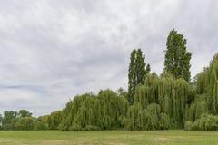 En el Rin en Alemania con una pared grande de los sauces de plata foto de archivo libre de regalías