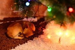 En el ` s del Año Nuevo el perro está durmiendo debajo del árbol Imágenes de archivo libres de regalías