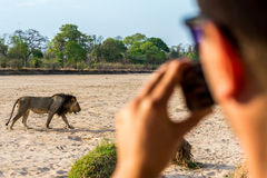 En el safari que fotografía un león Imagen de archivo libre de regalías
