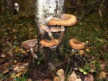En el tronco del árbol de abedul crezca los agáricos comestibles de la miel de las setas Fotos de archivo libres de regalías