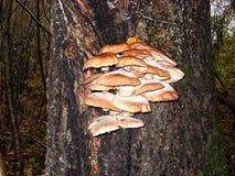 En el tronco del árbol de abedul crezca los agáricos comestibles de la miel de las setas Imágenes de archivo libres de regalías