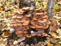 En el tronco del árbol de abedul crezca los agáricos comestibles de la miel de las setas Imagenes de archivo