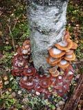 En el tronco del árbol de abedul crezca los agáricos comestibles de la miel de las setas Foto de archivo