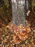 En el tronco del árbol de abedul crezca los agáricos comestibles de la miel de las setas Fotos de archivo