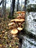En el tronco del árbol de abedul crezca los agáricos comestibles de la miel de las setas Imagen de archivo libre de regalías