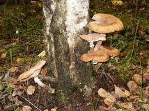 En el tronco del árbol de abedul crezca los agáricos comestibles de la miel de las setas Fotografía de archivo