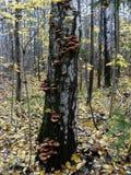 En el tronco del árbol de abedul crezca los agáricos comestibles de la miel de las setas Imagen de archivo