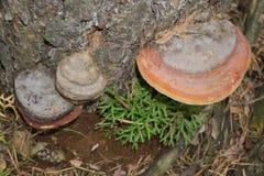 En el tronco del abedul, cubierto con el musgo que crece chaga blanco grande de la seta Imagenes de archivo