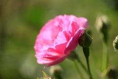 En el verano, la rosa está floreciendo Imagenes de archivo