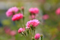 En el verano, la rosa está floreciendo Foto de archivo libre de regalías