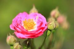 En el verano, la rosa está floreciendo Fotos de archivo