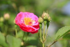 En el verano, la rosa está floreciendo Imagen de archivo libre de regalías