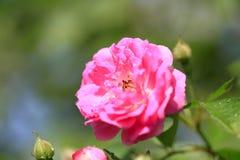 En el verano, la rosa está floreciendo Fotografía de archivo