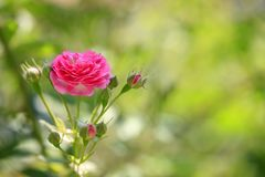 En el verano, la rosa está floreciendo Imágenes de archivo libres de regalías