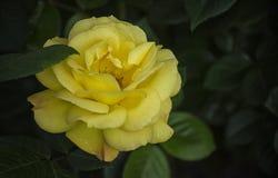 En el verdor delicioso del partido, un flujo brillante de la rosa del amarillo Foto de archivo libre de regalías