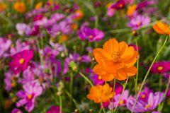 En el viento del invierno, el campo del bipinnatus del cosmos es floración hermosa como fondo Imagen de archivo libre de regalías
